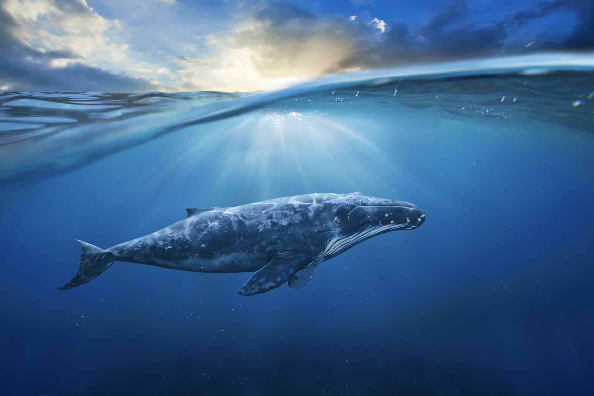 Grauwale im Einfluss der Sonnenaktivität
